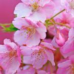 桜ちゃんさん